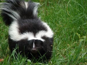 skunks -- can you learn to live with them?