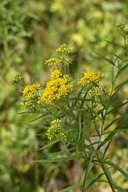 Goldenrod - Photo courtesey of enature.com