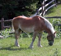 Draft Horse Grazing, Keene, NH - Photo by Jodi Forcier