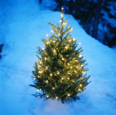 Grow Your Very Own Christmas Tree